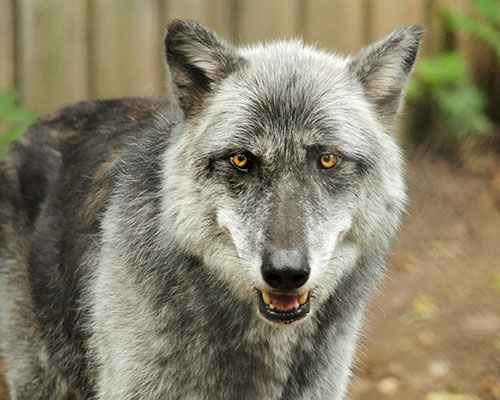 Gray wolf Timber