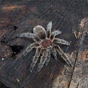 Rose-hair-tarantula-2010-Helen-Dishaw
