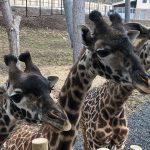 Three Masai giraffes