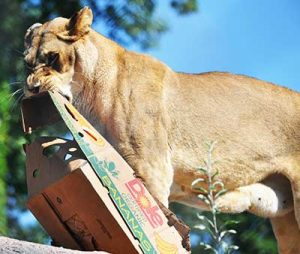 African lion with enrichment