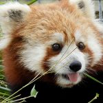 Red panda with tongue sticking out