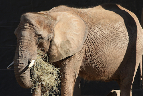 African elephant Lilac holding hay with her trunk