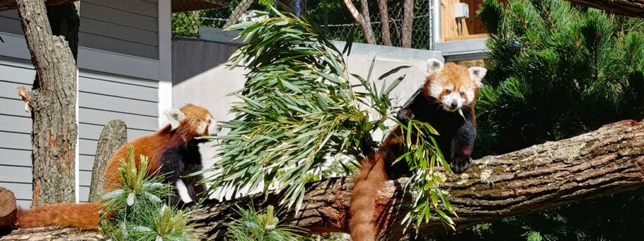 Get to know the Zoo's two red pandas, Blaze and Starlight