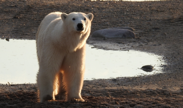 Up close with polar bears in Churchill Manitoba