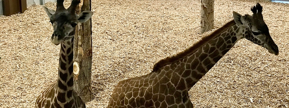 Second giraffe arrives at Seneca Park Zoo