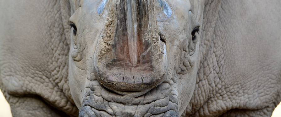 Southern White Rhinos: The Conservation Story